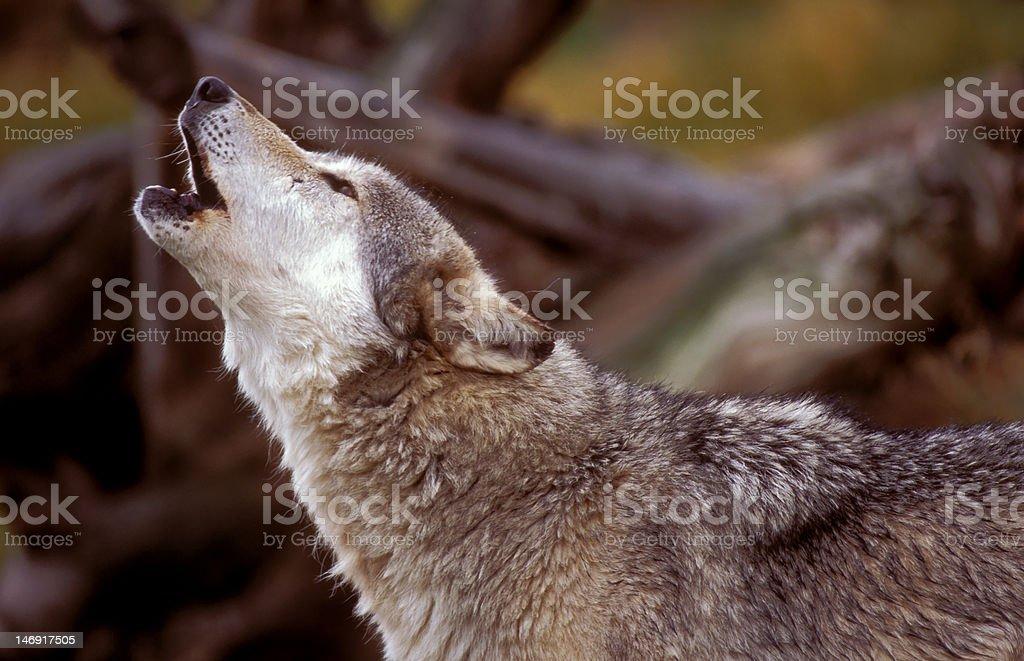 Gray wolf stock photo