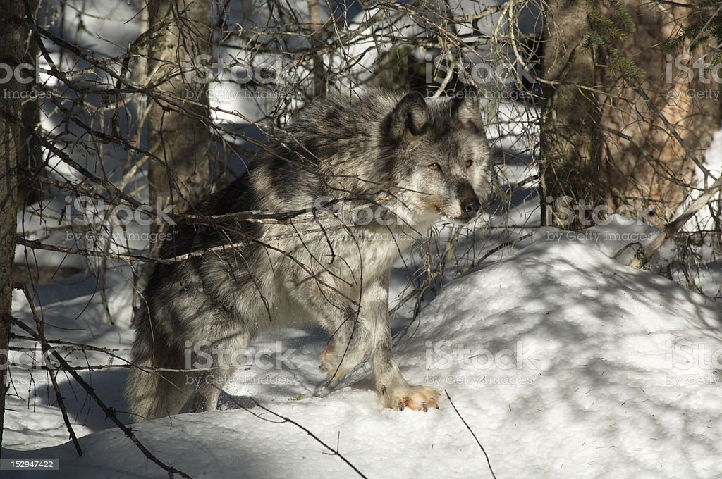 Gray Wolf stok fotoğrafı