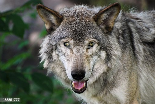 Gray Wolf portrait with snout open and canine showing.