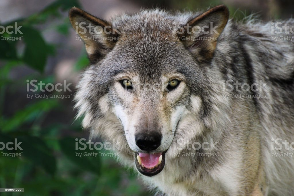 Gray Wolf stock photo