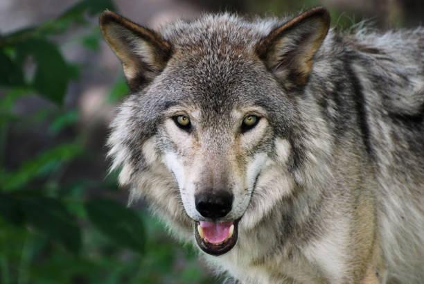 gray wolf - wolf stock-fotos und bilder