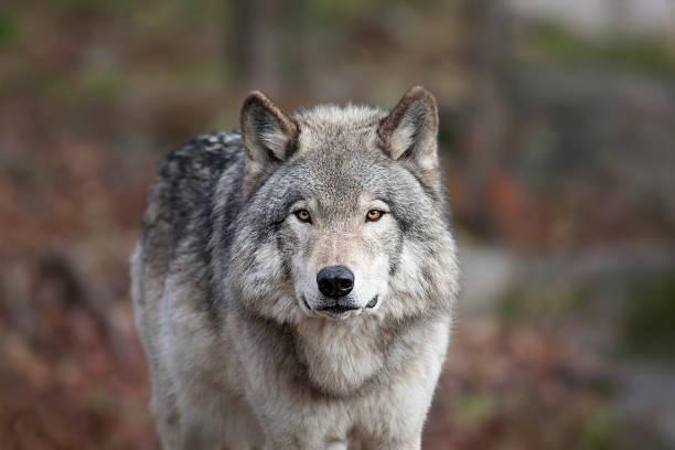 lobo cinzento - lobo cinzento imagens e fotografias de stock