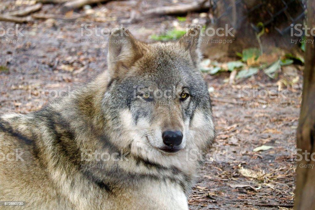 Gray Wolf Portrait 1 stock photo
