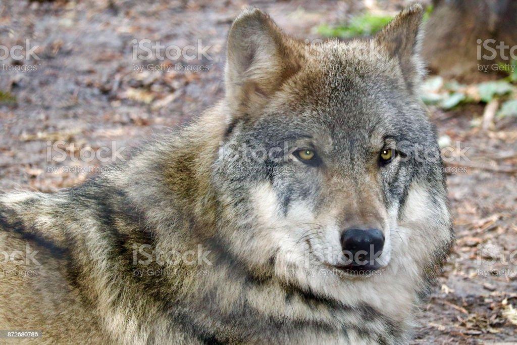 Gray Wolf Portrait 2 stock photo