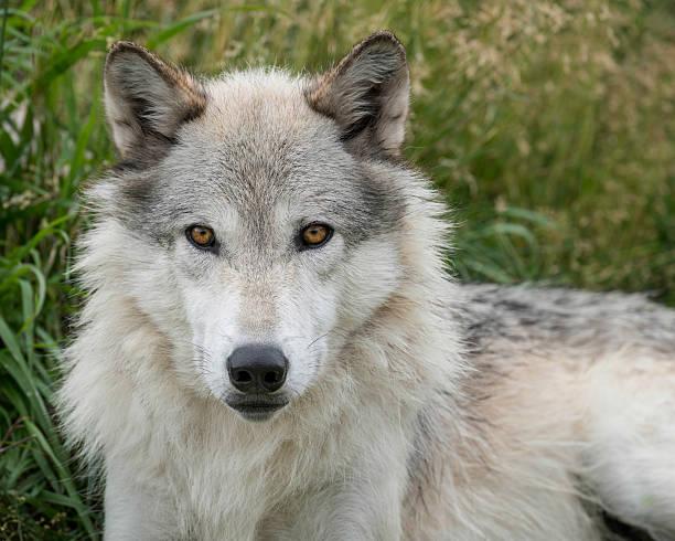 Gray Wolf Portrait stock photo
