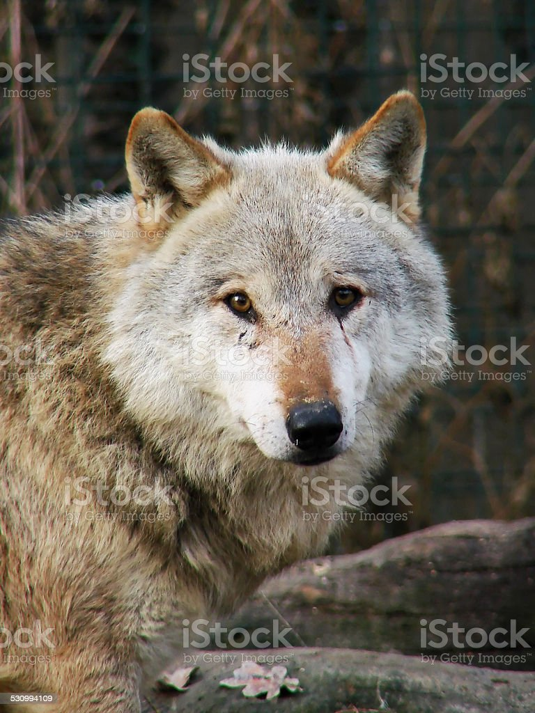 Gray Wolf portrait stock photo