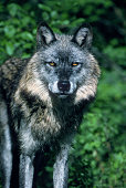 Head on photo of a dark Gray Wolf in Montana.