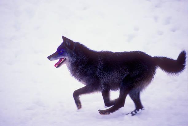 Gray Wolf Running in Snow stock photo