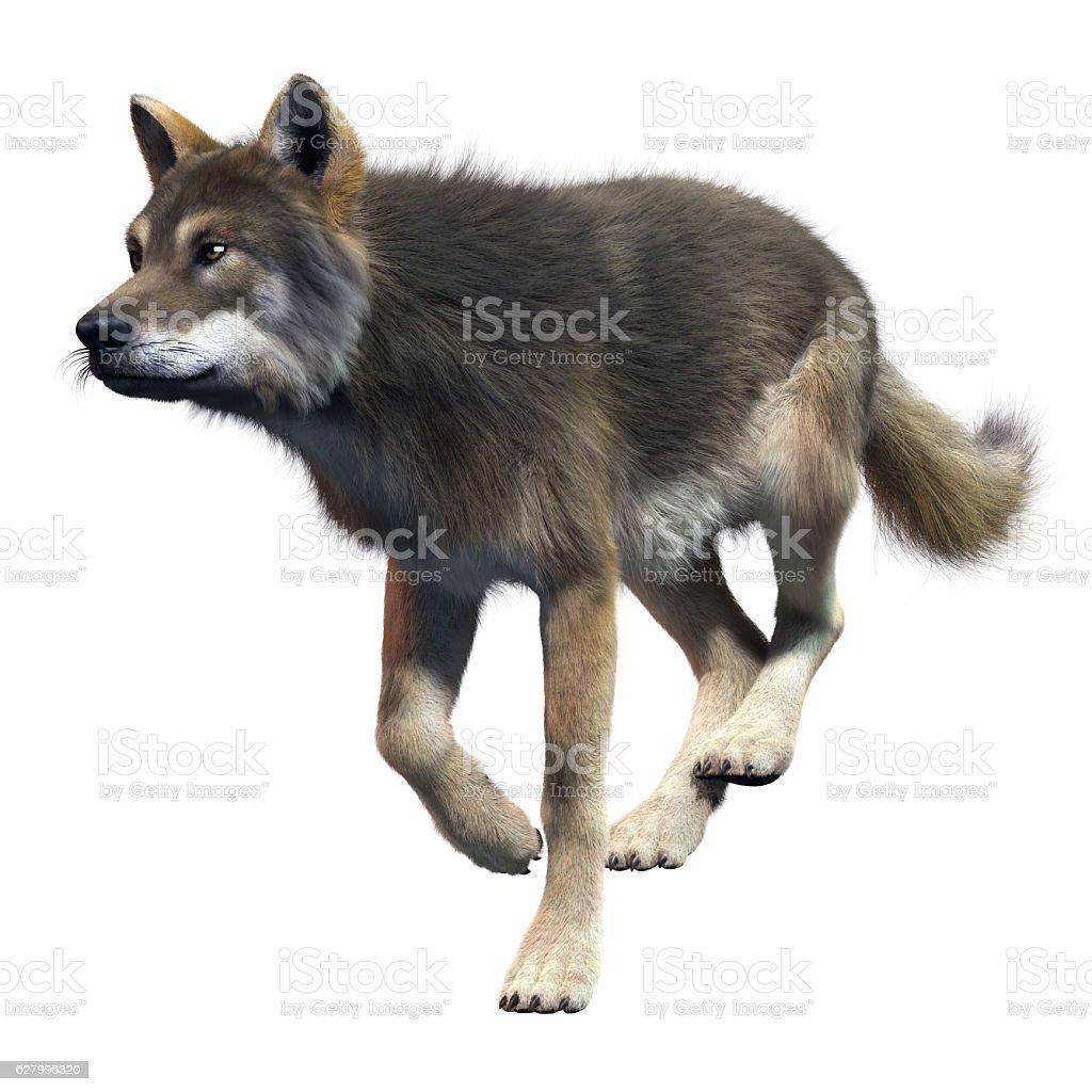 Gray Wolf Running stock photo