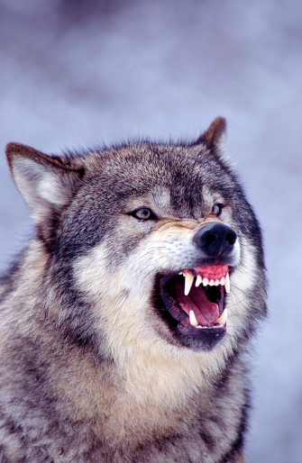 Close-up of a Gray Wolf snarling. Prominent teeth showing. Montana.