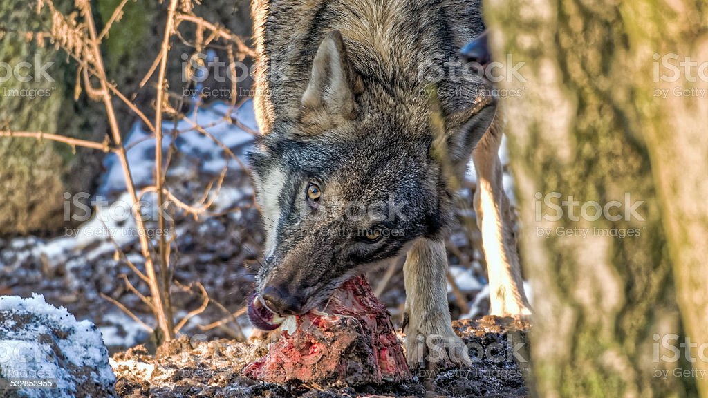 Gray wolf tearing meat off a spine, looking into camera stock photo