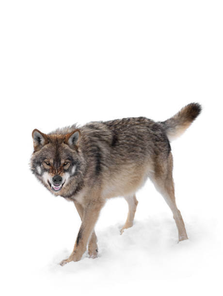 gray wolf with a grin is isolated on a white gray wolf with a grin is isolated on a white background. daunt stock pictures, royalty-free photos & images