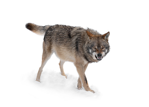 gray wolf with a grin is isolated on a white background.