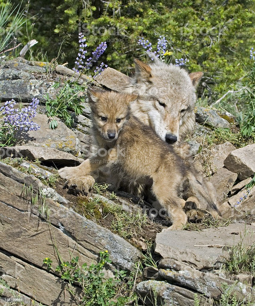 Gray wolf with cub stock photo