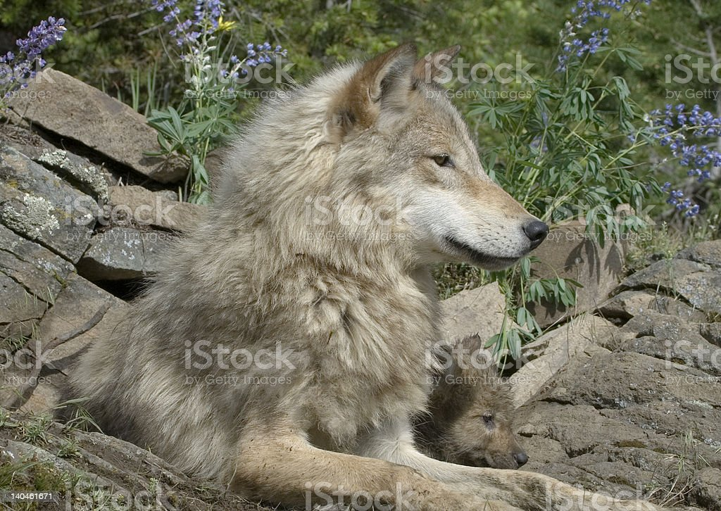 Gray wolf with cubs stock photo