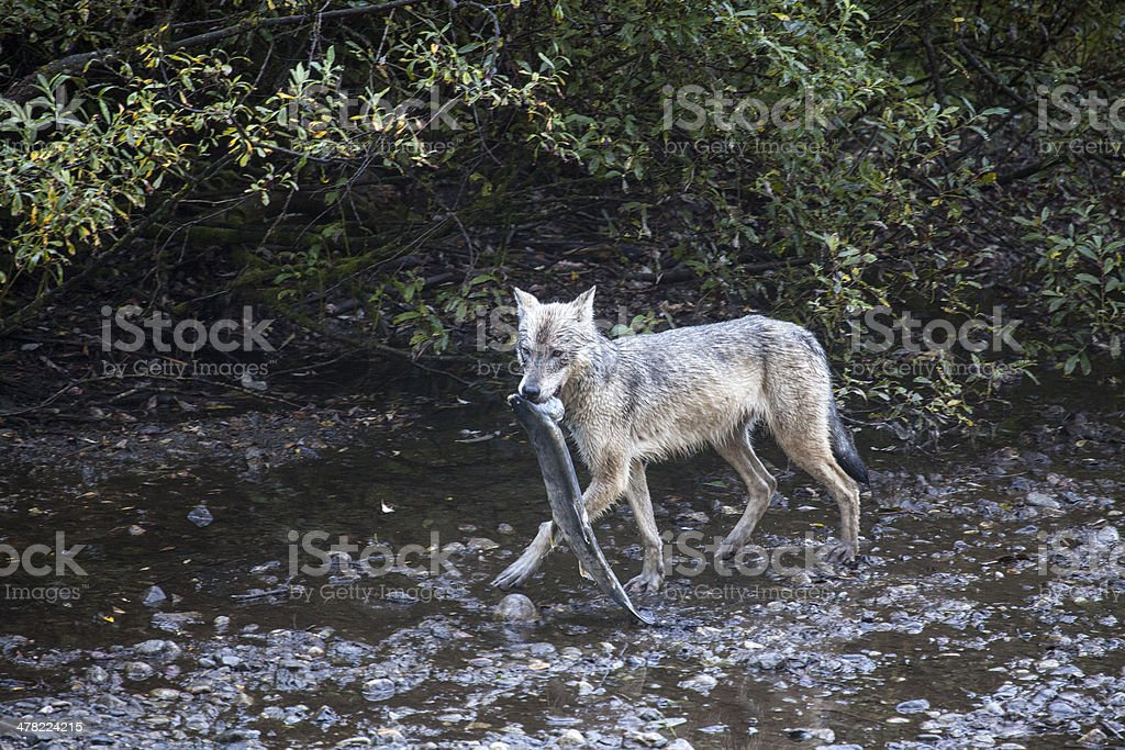 Gray Wolf with fish stock photo