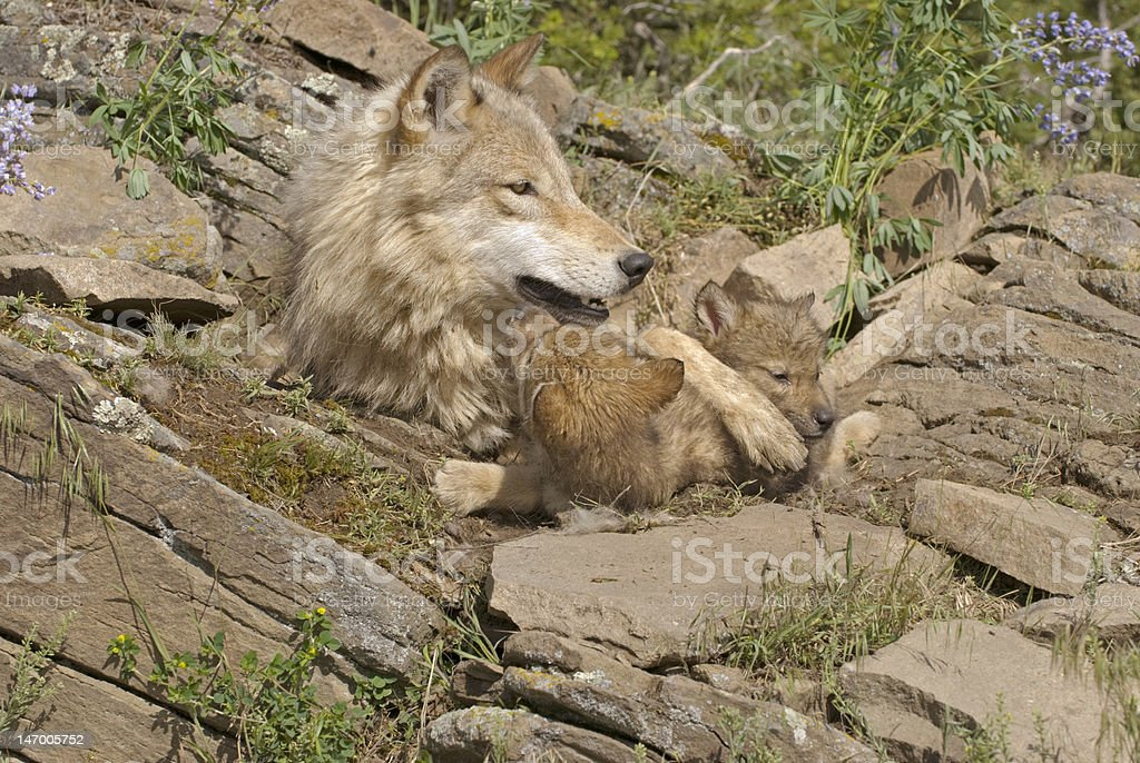 Gray wolf with her cubs stock photo
