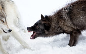 Gray Wolves (Canis lupus) fight for social ranking