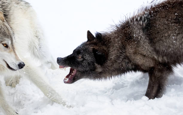 Gray Wolves Fighting stock photo
