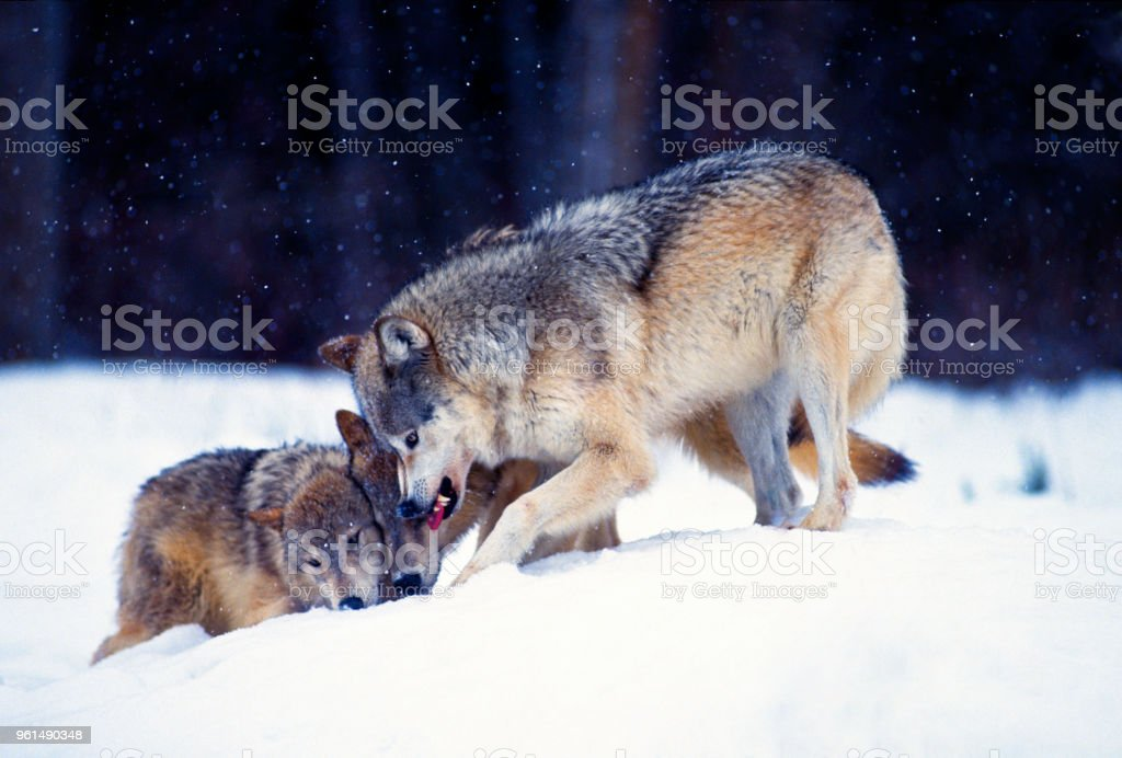 Gray Wolves Fighting Stock Photo Download Image Now Istock