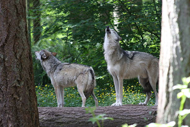 Gray Wolves Howling stock photo