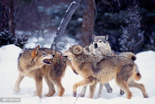 A group of Gray Wolves