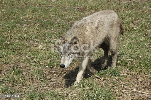Gray wolves in nature