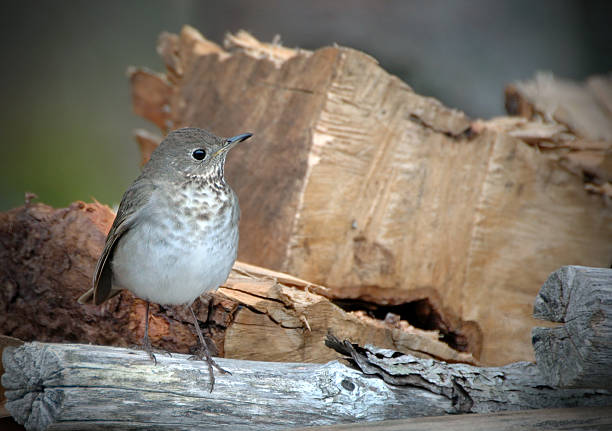 Gray-cheeked Thrush stock photo