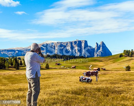 Indian summer in the Dolomites. Alpe di Siusi is charming plateau in the Dolomites, Italy. Plump cows graze on the hills. Gray-haired tourist photographs grazing cows. The concept of walking, ecological and photo tourism