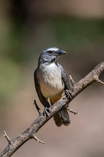 The Grayish Saltator (Saltator coerulescens) is a perching bird in the tanager family that has a huge range from central Mexico to most of South America.