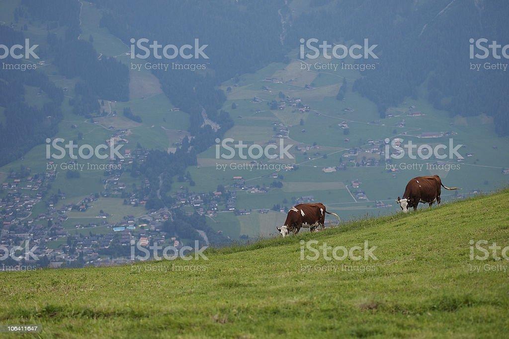 graze cows royalty-free stock photo