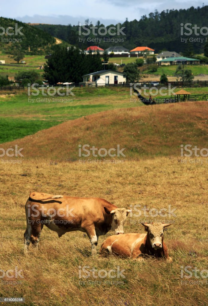 Grazed cow on a pasture royalty-free stock photo