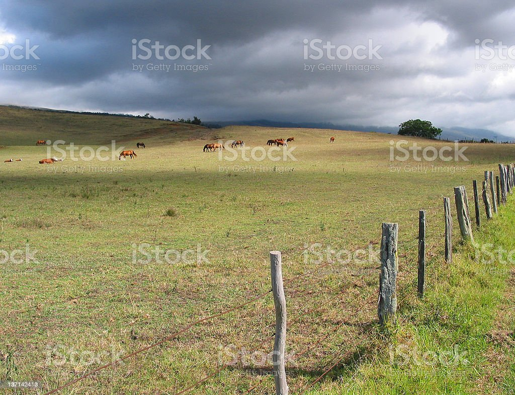 Grazing Before the Storm, Maui, Hawaii stock photo