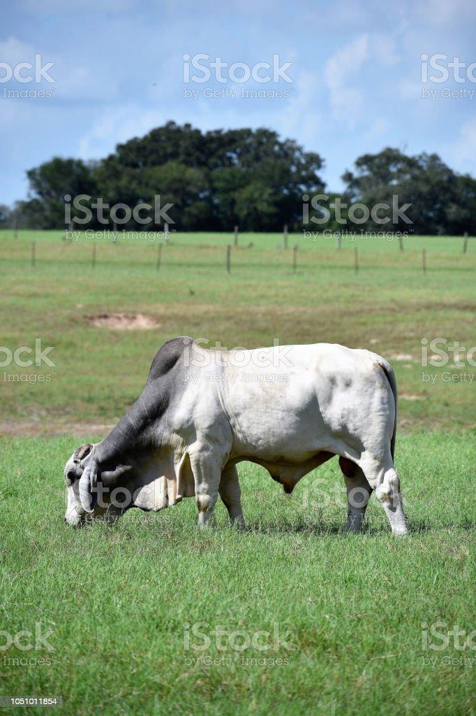Grazing Brahma Bull Portrait stock photo