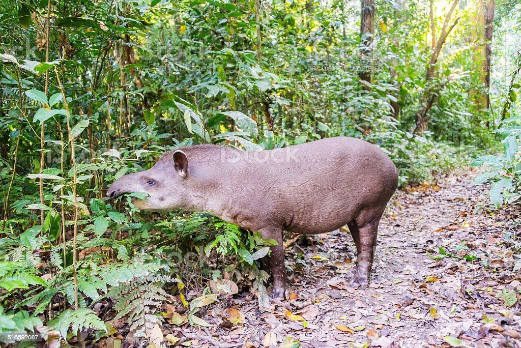 Grazing Brazilian Tapir stock photo