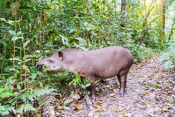 Grazing Brazilian Tapir stock photo