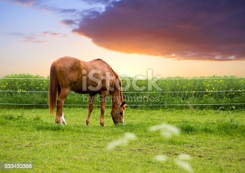 close up, outdoor, of a grazing brown horse on a spring day.
