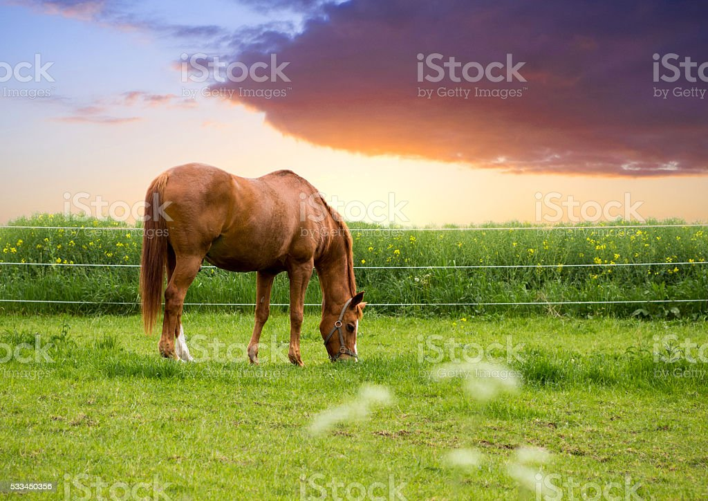 Grazing brown horse stock photo