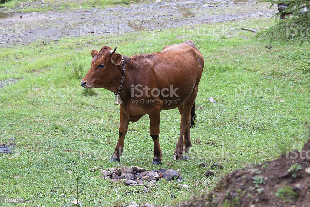 Grazing brown royalty-free stock photo