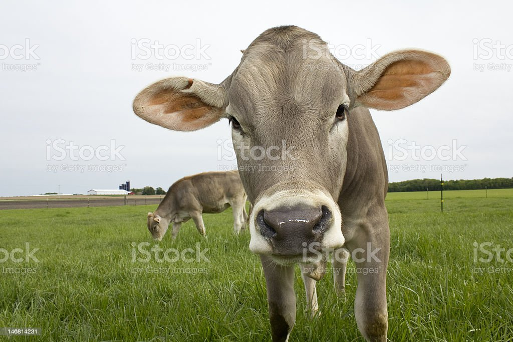 Grazing Brown Swiss stock photo