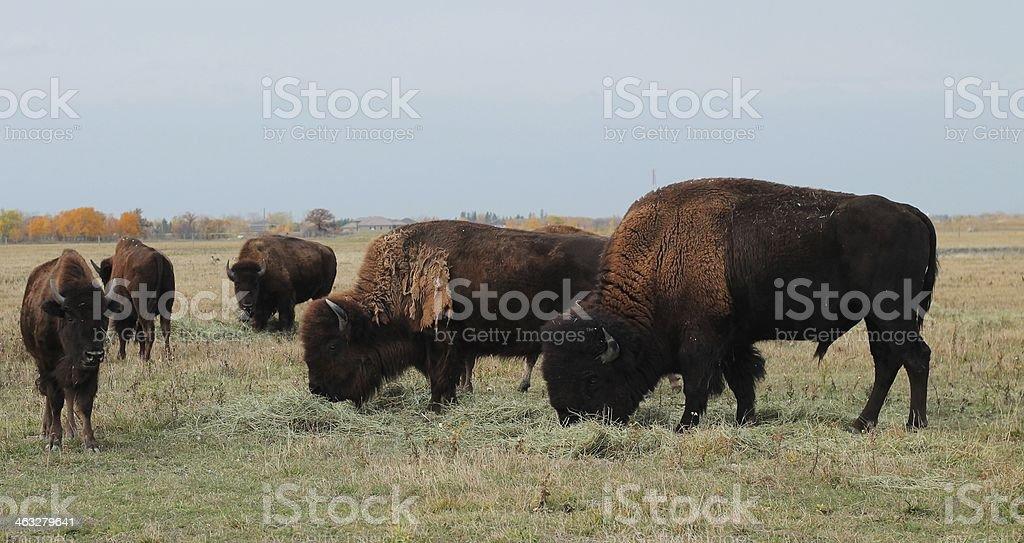 Grazing Buffalo Herd stock photo