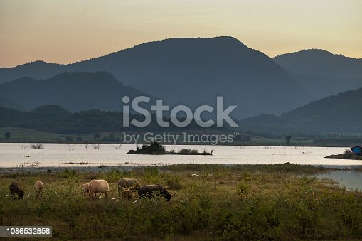 Grazing buffalo in a field at a sunset