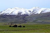 Bulls chewing grass on a meadow. Mountains and forest in the background. Sunny day. Altai Republic, Russia.