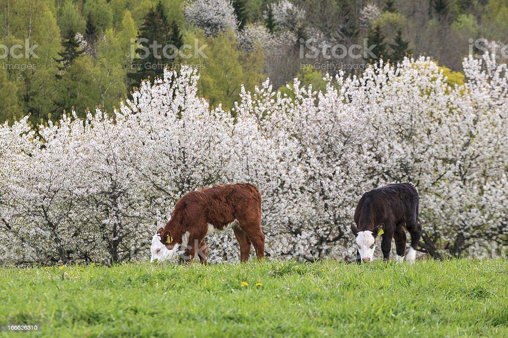 Grazing calfs royalty-free stock photo