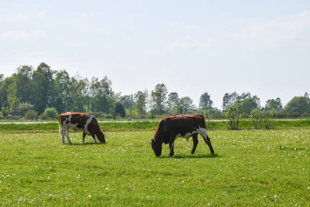 Grazing cattle in a green pastureland stock photo