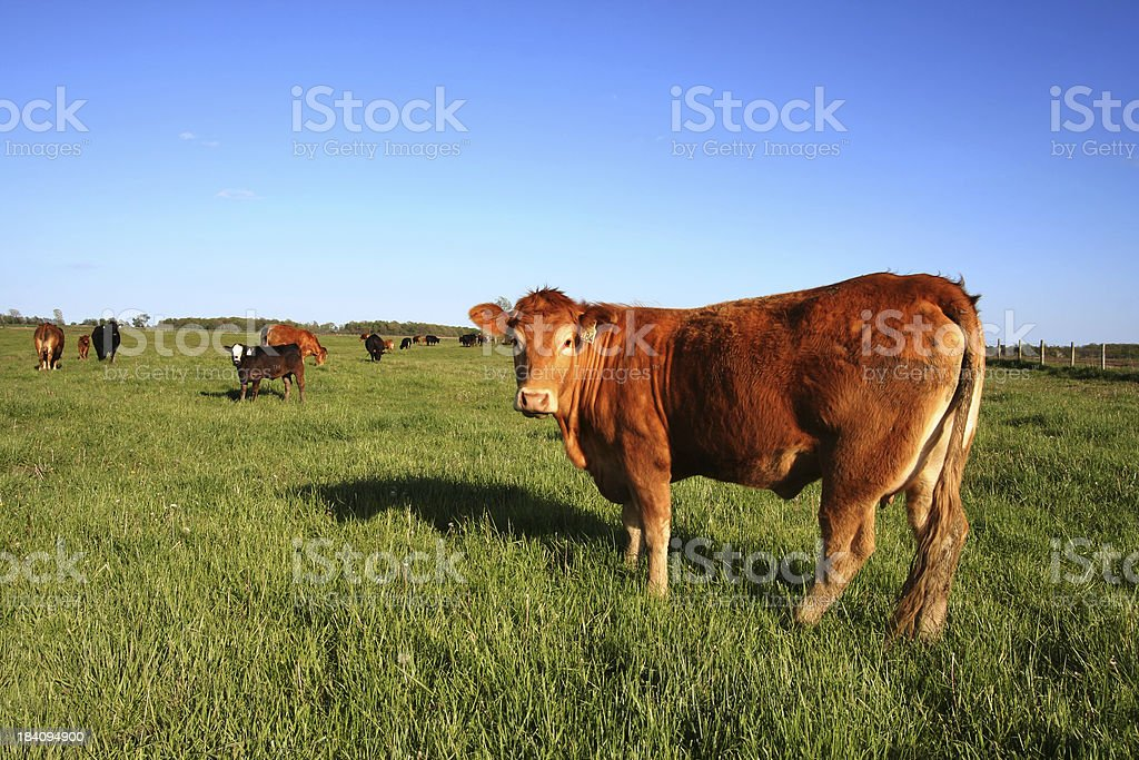 Grazing Cattle on a meadow royalty-free stock photo