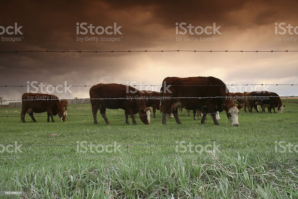 Grazing Cattle royalty-free stock photo
