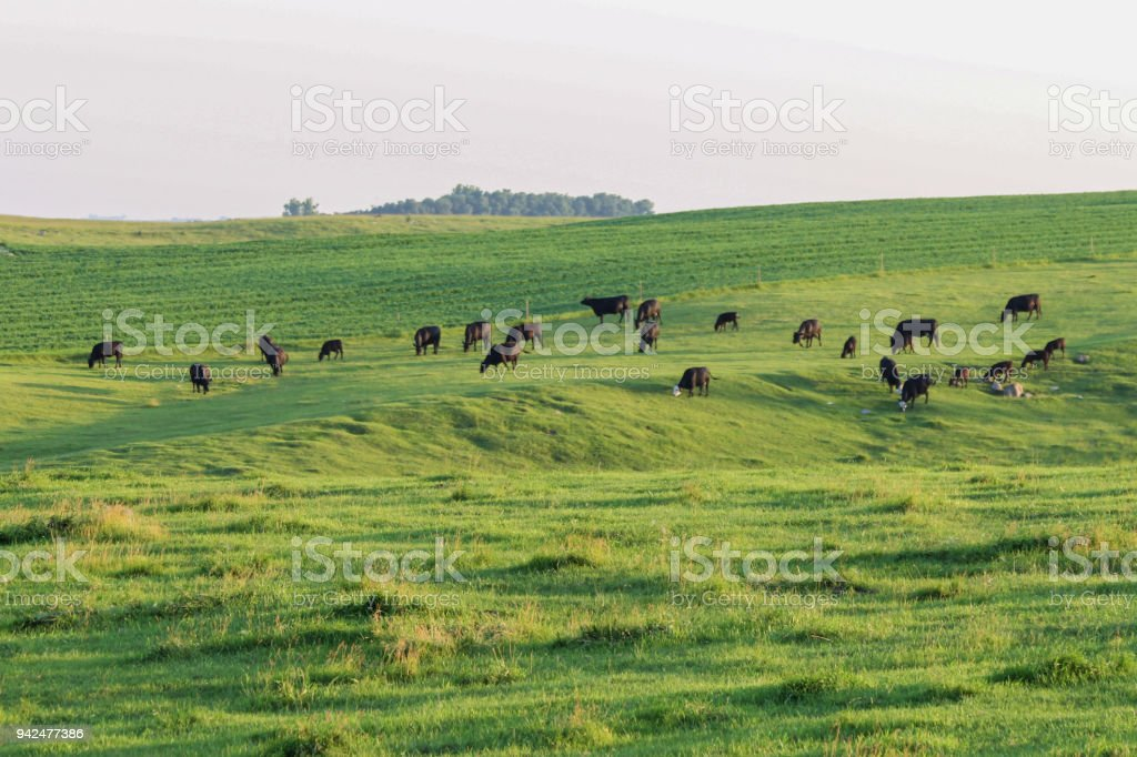 Grazing Cattle stock photo