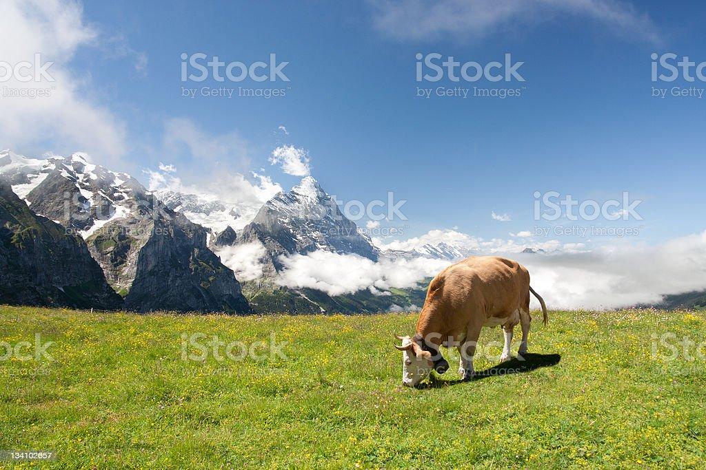 Grazing cow in Alps stock photo