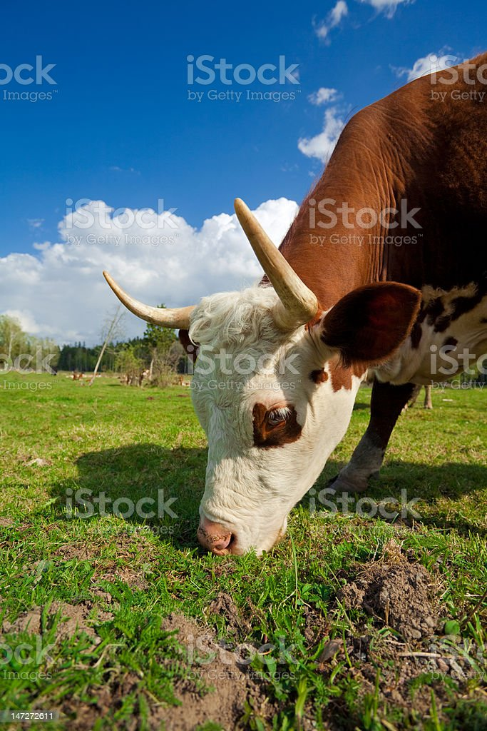 Grazing Cow Domestic cow grazing in grass field. Agricultural Field Stock Photo
